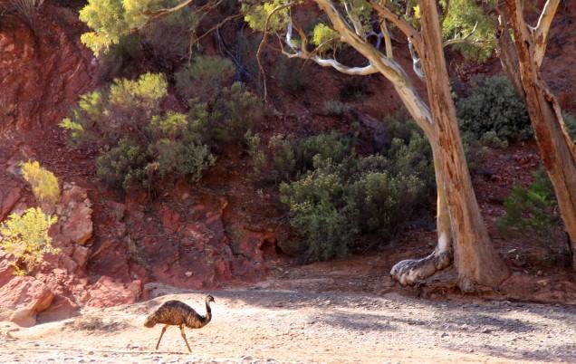 Parachilna Gorge Emu